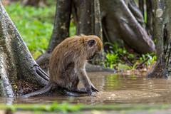 cute monkey portrait sitting on the ground (elmanther123) Tags: monkey ancestor ape wild lefe alive brown animal cute young zoo park jungle forest fur macaque mammal nature outdoor creature exotic fauna tail legs expression rainforest biped macaca one alone simian species