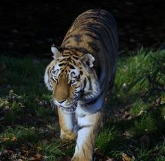 Yorkshire Wildlife Park...    10.12.2018 632 (Andrew Burling (SnapAndy1512)) Tags: yorkshirewildlifepark10122018 yorkshirewildlifepark yorkshire amurtiger tiger bigcats animals zoo