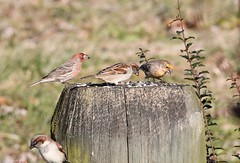 Male House Finches with Male HSP (Moon Rhythm) Tags: birds easternshoremaryland eastcoast 38075h8 housefinch haemorhousmexicanus pondlife pondgarden pondfeeder maryland backyardnature backyardbirds yardbirds yellow red ridgely carolinecounty hsp housesparrow nonnative