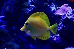 78D71A32-6470-482D-B11B-34D8249B3A38 (zammit.daniel1) Tags: yellow tang purpletang cleanershrimp cardinal regaltang bluetang firefish clownfish zoa leather toadstool reef reeftank marine candycane coral