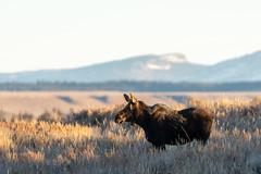 The other half ((JAndersen)) Tags: mountain moose tetons grandteton grandtetonnationalpark wyoming usa wildlife nature animals nikon nikkor20005000mmf56 nikkor d810