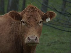 """Photo Series: Life in the Farm is: """"That look you get when..."""" (Ken Whytock) Tags: cow heifer beef stare eyes eyecontact farm ontario oxfordcounty canada rural autmun"""