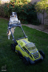 With winter grass come winter chores (Jasper's Human) Tags: aussie australianshepherd dog lawn grass mow mower chores working