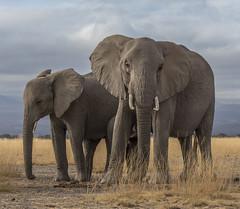 _A130164 (BergsPix) Tags: elephants africa kenya safari amboseli masaai mara samburu tusks mammals