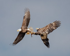 Eagles 'sharing' a fish (tresed47) Tags: 2018 201811nov 20181114conowingobirds birds canon7dmkii conowingo content eagle fall flightshot folder general maryland november peterscamera petersphotos places season takenby us