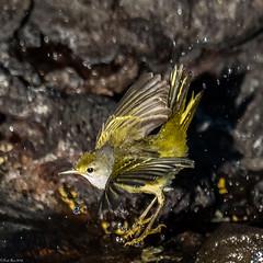 Splish splash (Fred Roe) Tags: nikond810 nikkorafs80400mmf4556ged nature wildlife birds birding birdwatching birdwatcher warbler yellowwarbler setophagapetechia galapagos