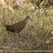 Brown Crake (Amaurornis akool)