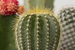 Cactii - Macro Mondays - Green (Ce Rey) Tags: macromondays green cactii macro plant canon eos80d macro100mm cactus jardín planta