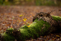 Oak (Future-Echoes) Tags: 4star 2018 autumn bokeh depthoffield dof essex leaf leaves nature sparkeywood tree wickhambishops woodland