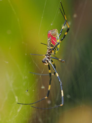 Jorō spider (Nephila clavata, ジョロウグモ) (Greg Peterson in Japan) Tags: 動物 ジョロウグモ shiga kamitoyama 栗東市 滋賀県 japan ritto wildlife bugs shigaprefecture
