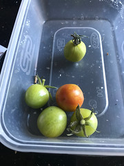 IMG_2167 (LardButty) Tags: garden homegrown lardbuttyhomegrown