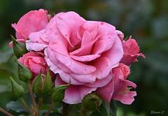 Weekend Roses (Free Spirit) (Eleanor (No multiple invites please)) Tags: rose pinkroses buds regentspark london nikond7200 august2018
