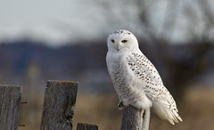 Snowy Owl (hd.niel) Tags: snowyowl owls hunting vole 7celcius14windchill windy nature ontario wildlife photography nikon rural sideroad migration