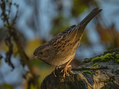 Dunnock at Dusk (Ian M Bentley) Tags: barnwellcountrypark barnwell oundle northamptonshire england uk dunnock hedgesparrow hedgewarbler prunellamodularis european olympus omd em1ii panasonic100400mm leica100400mm telephotolens 800mm light sun sunlight endoftheday feathers detail browns blacks songbird gardenbird nervous skittish bird outdoor november autumn wildlife tree posing posingbranch quiet unobtrusive animal foraging