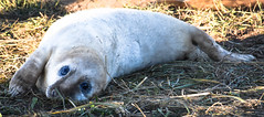It's so tiring being so cute (littlestschnauzer) Tags: donna nook coastal uk wildlife nature grey seal pup baby young youngster eyes big 2018 cute adorable watching looking november