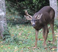 IMG_1049 Black-tail Buck (Jon. D. Anderson) Tags: deer buck blacktaileddeer odocoileushemionuscolumbianus odocoileushemionus odocoileuscolumbianus