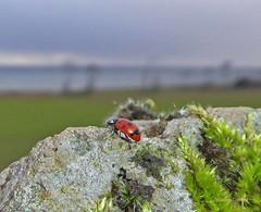 Eleven Spot Ladybird1 Portencross Road 25Jan19 (g crawford) Tags: ladybird ladybug coccinellaundecimpunctata eleven elevenspot beetle insect macro crawford red portencrossroad portencross westkilbride ayrshire northayrshire