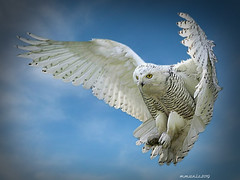 Powerful Talons (maom_1 (Off, most of the time)) Tags: whiteowl sky blending photoshop digital collage fantasticnature animal bird nature