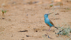 Karongwe Private Game Reserve, South Africa (serena_tang) Tags: bird karongweprivategamereserve southafrica bluewaxbill africa