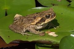 Cane toad (Bufo marinus) (Pete Rodgers) Tags: amphibians bermuda toads
