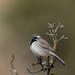 Black-throated Sparrow (James Childress) Tags: