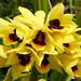 Orthochilus mechowii (zimbart) Tags: africa orthochilusmechowii zimbabwe penhalonga flora angiosperms monocots asparagales orchidaceae orthochilus