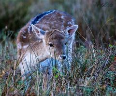 Fallow deer fawn (vickyouten) Tags: fallowdeer deer fawn nature wildlife nikon nikond7200 nikonphotography dunhammassey altrincham uk vickyouten