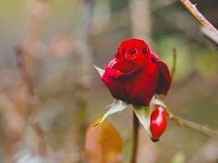 December Red Rose Bokeh - Tarbek - Schleswig-Holstein - Germany (torstenbehrens) Tags: december red rose bokeh tarbek schleswigholstein germany