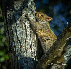 Tree Hugger (Jeffrey Balfus (thx for 3.3 Million views)) Tags: squirrel sonyalpha sonyilce6300 sony6300 mirrorless sonyemount sony70400mmf45gssmii