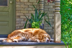 Waterloo -  Ontario - Canada - Historic District  - Comfort Dog Napping (Onasill ~ Bill Badzo - 59 Million - Thank You) Tags: waterloo on ont ontario canada historic district university guelph county comfort dog napping golden retriever therapy calm gentle heritage area love people hospital retirement homes onasil smith door steps portico hdr canon eos rebel camera sl1 sigma macro telephoto lens