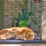 Waterloo -  Ontario - Canada - Historic District  - Comfort Dog Napping thumbnail