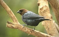 Brown-headed cowbird (male) (schreckpeter45) Tags: bird cowbird brownheadedcowbird