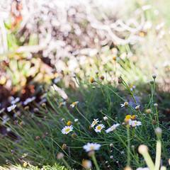 adventures in la jolla (corinnevelez) Tags: digital canon5dmarkii 50mmf18stm lajolla california daisies white flower bloom wild december2018 winter green