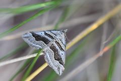 Erebidae (esta_ahi) Tags: lavellà fontrubí penedès barcelona españa spain испания mariposa papallona moth erebidae noctuoidea insectos fauna