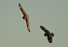 Short-Eared Owls (Ann and Chris) Tags: shortearedowl owls two pair wildlife nature sky