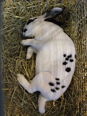 Floppage (eveliensbunnypics) Tags: bunny rabbit rex rexie spotted speckled flop flopped floppage sleeping jan