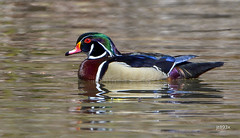 Wood Duck (jt893x) Tags: 150600mm aixsponsa bird d500 drake duck jt893x male nikon nikond500 sigma sigma150600mmf563dgoshsms thesunshinegroup coth alittlebeauty coth5