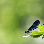 Blue dragonfly on a leaf thumbnail