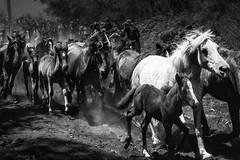 Baixa das Bestas (josebrito21) Tags: horse horses cabalo sabucedo sabucedo2018 galícia blackwhite bw josébrito josebrito2 josébritophotography josébritofotografia josébritofotos josébritophotos pretoebranco animais animals natureza nature