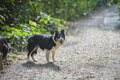 Lara (mcvmjr1971) Tags: green nikon d800e vila progresso niterói mmoraes cachorro border collie dog tricolor femea female sigma 85mm art f14