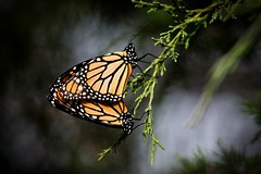 Danaus plexippus (kerstynp) Tags: monarch monarchbutterfly danaus butterfly tree orange nature wildlife fauna insect insects wisconsin butterflies twig