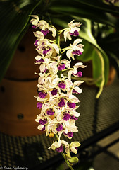 String of orchids (Thad Zajdowicz) Tags: zajdowicz sanmarino california usa travel canon eos 5dmarkiii 5d3 dslr digital availablelight lightroom primelens 50mm flower orchid flora plant epiphyte nature indoor inside color green white colour purple