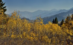I Can See for Miles and Miles... (thor_mark ) Tags: alpineloopdrive alpineloopscenicbackway americanforkcanyon aspen aspenleaves aspentrees aspens autumncolors autumnleafcolors azimuth184 blueskies capturenx2edited centralwasatchrange colorefexpro colorofleaves coloroftrees day8 evergreentrees evergreens hillsideoftrees landscape leafcolors lookingsouth mountainpeak mountains mountainsindistance mountainsoffindistance mountainside multitudeofplantleafcolors nature nikond800e outside populustremuloides project365 quakies quakingaspen ridgeline ridge ridges rockymountains stateroute92 sunny trees uintanationalforest uintawasatchcachenationalforest utahhwy92 utahnationalparks2017 utahstateroute92 wasatchrange westernrockymountains ut unitedstates