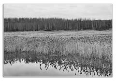 The Settlement (Nige (NiiiiiJ)) Tags: gedlingcountrypark gedling nottinghamshire mono gedlingpit countrypark niiiiij settlementpond gedlingvillage reflections windingway canon5dmk4
