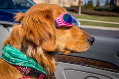 Mar.16_Back Seat Rider (M Jalone) Tags: carride topless goldenretriever golden convertable stpat dog goggles sunglasses