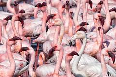 Greater and Lesser Flamingos @ Walvis Bay, Namibia (SuzieAndJim) Tags: suzieandjim naturephotography nature pink flock birds africa namibia walvisbay lesser greater flamingo