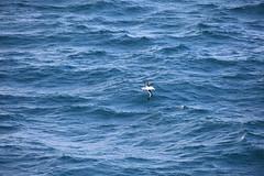 IMG_0206 (y.awanohara) Tags: humpbacks humpbackwhales whales whale southgeorgia scotiasea january2019 wildlife cetacean