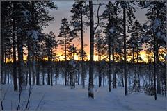 le temps d'une pause, et clic ! (Save planet Earth !) Tags: forêt finland laponie neige hiver winter amcc nikon tree snow bois