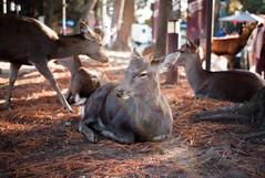 Nara Deer Park (sohiroshi) Tags: leica m8 35mm summilux m preasph 14 osaka japan streetphotography dof wideopen 日本 大阪 nara 奈良
