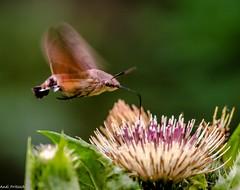 Ein Schwalbenschwänzchen (Andi Fritzsch) Tags: macro macrophotography closeup closeupphotography nature naturephotography insect insekten insectphotography schwalbenschwänzchen flower flowers flowercolors flowerpower